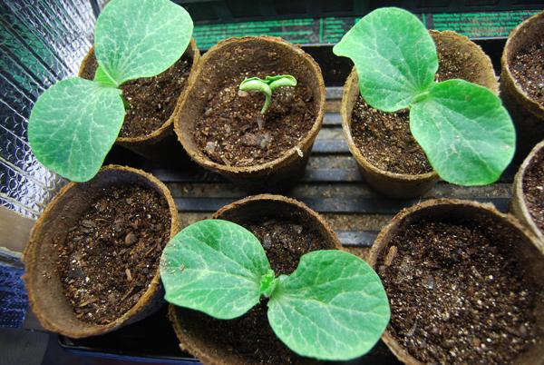 Условия для выращивания рассады тыквы