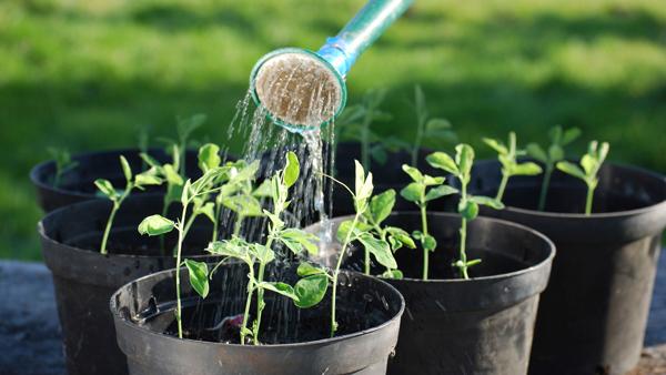 Условия для выращивания баклажанов