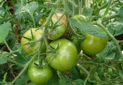 Почему помидоры не краснеют в теплице. Что делать, чем помочь