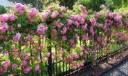 Плетистая роза: посадка и уход в открытом грунте. Виды, сорта