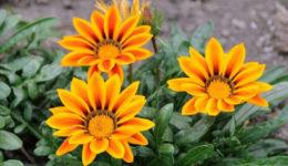 Гацания однолетняя — выращивание из семян. Сорта, уход