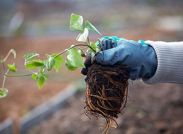 Посадка саженцев весной (выбор места и почвы, когда высаживать, технология посадки)