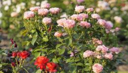 Розы флорибунда: посадка и уход для новичков. Размножение
