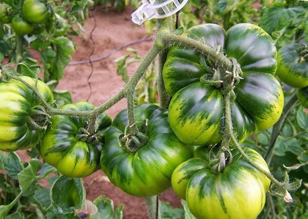 Причины, почему помидоры не краснеют в теплице