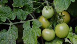 Почему помидоры мелкие и уже краснеют. Что делать, профилактика