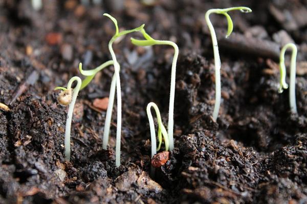 Причины, почему на всходах остаются семена
