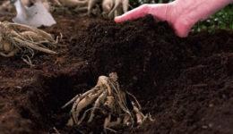 Когда сажать георгины весной в открытый грунт. Уход после посадки
