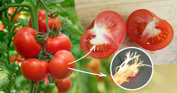 Отчего помидоры внутри белые и жесткие стенки