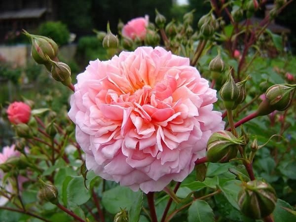 Розы Девида Остина