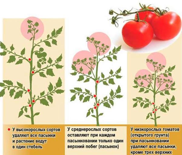 Что делать, чтобы помидоры в теплице не трескались