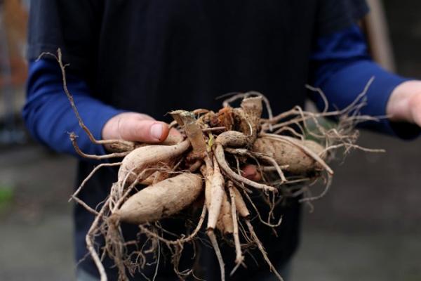 Как правильно выбрать корневища многолетних георгинов при покупке
