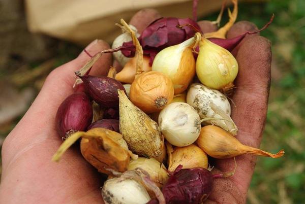 Как выбрать качественный лук севок при покупке