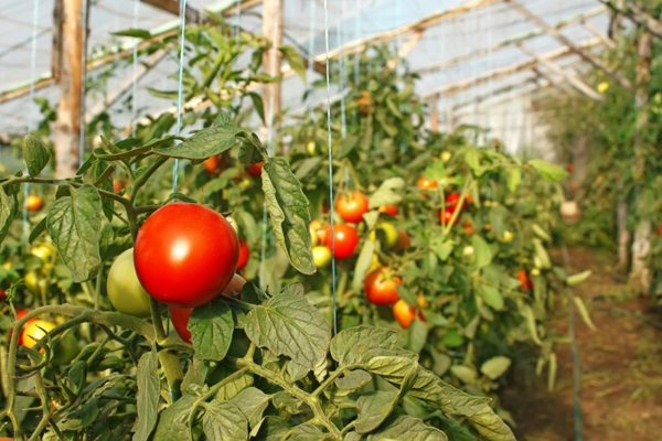 Полезные советы огородников