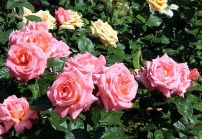 Роза ивнинг стар описание