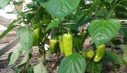 Выращивание перцев в теплице из поликарбоната. Сбор урожая