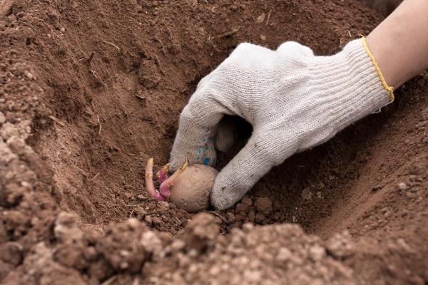 Как правильно посадить картофель