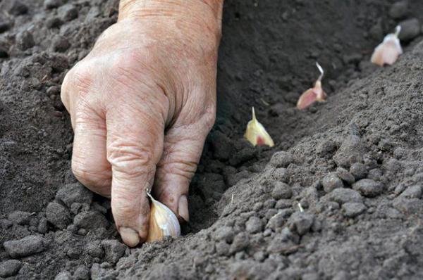 Когда сажать чеснок весной в открытый грунт по Лунному календарю 2019г