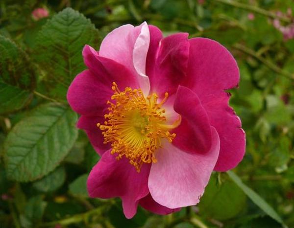 Гибриды розы Ругоза