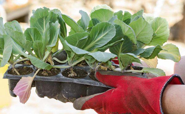 Как выбрать рассаду при покупке