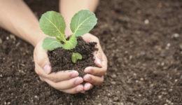 Когда высаживать капусту в открытый грунт. Уход после посадки