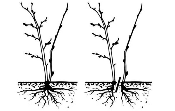Есть ли отличия в размножении красной и черной смородины?
