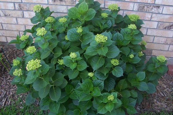 Главные причины и их исправление, почему гортензия не цветет, а растут только листья