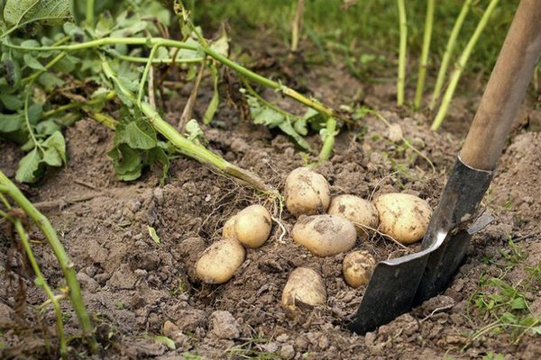 Как правильно выкапывать картофель