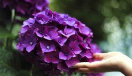 Почему не цветёт гортензия: причины и их исправление