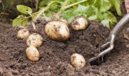Когда убирать картофель с грядки на хранение, как хранить зимой