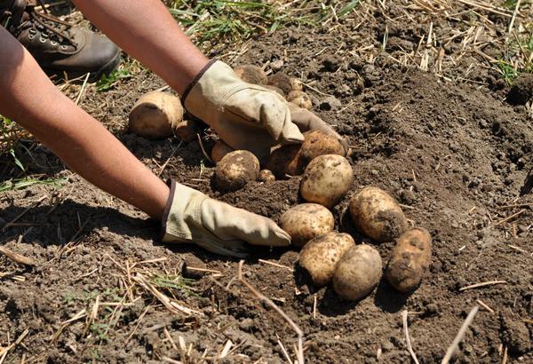 Когда убирать картофель с грядки на хранение